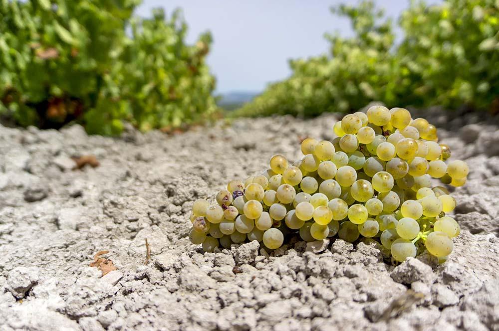 Виноград Педро Хименес на почвах альбарисса
