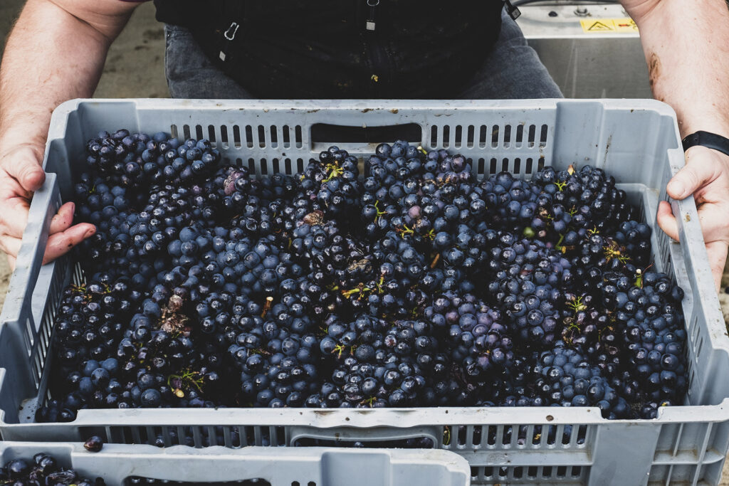 High angle close up of person holding grey plastic crate of freshly picked bunches of black grapes at a vineyard.