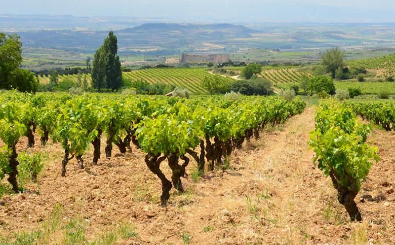 Виноградные лозы в Испании