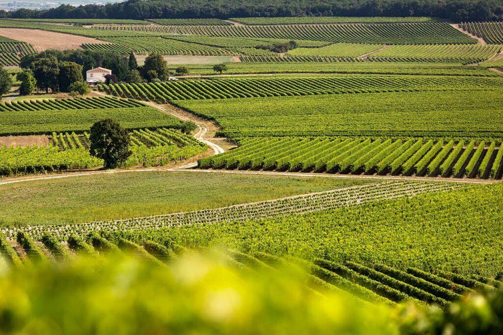 Виноградники Уни Блан в регионе Шаранта