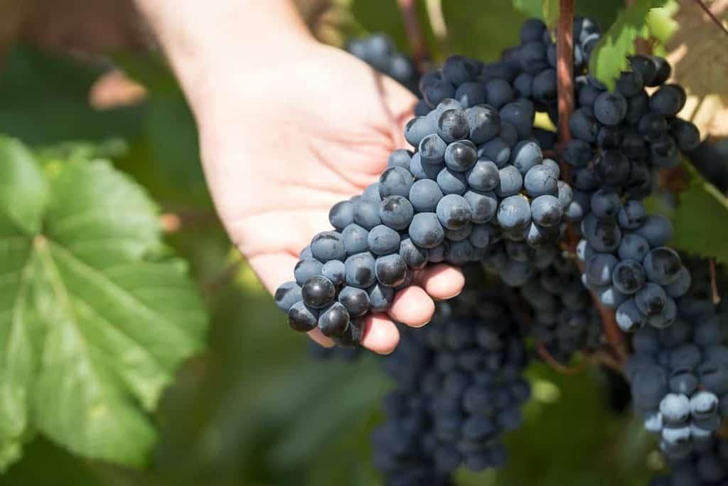 primitivo-grape-variety-characteristics